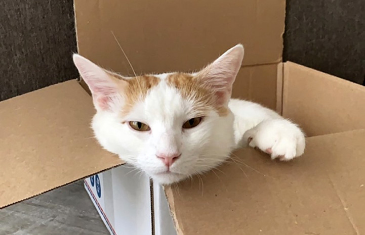 Chief the cat playing in a cardboard box