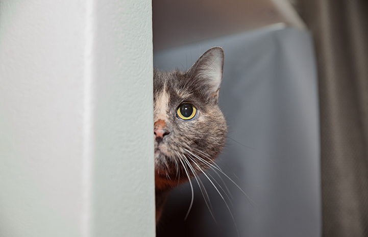 Tortie the cat peeking out from behind a wall