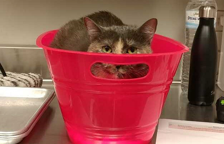Tortie the cat peeking out from the top of a red bucket