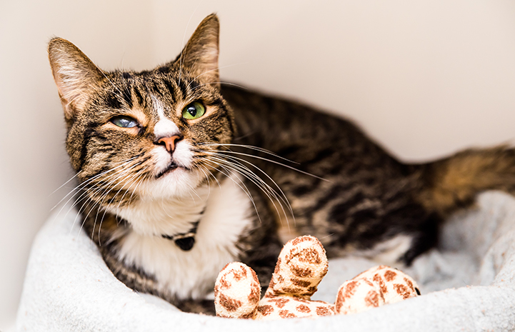 Brown tabby with white cat with a scarred eye, lying in a bed with a toy