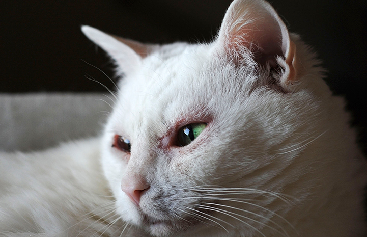 A close of of Sonya the white cat