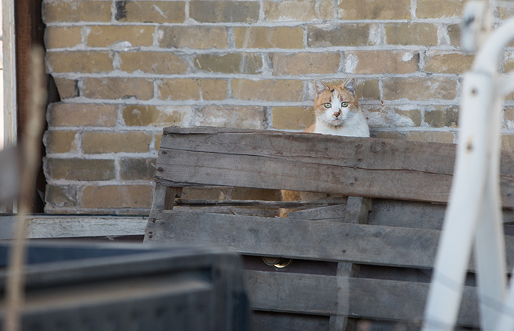 Orange and white community cat hiding between a pallet and a brick wall