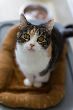 "Caregivers describe Coraline the cat's coat as ""talico,"" or a mixture of calico and tabby"
