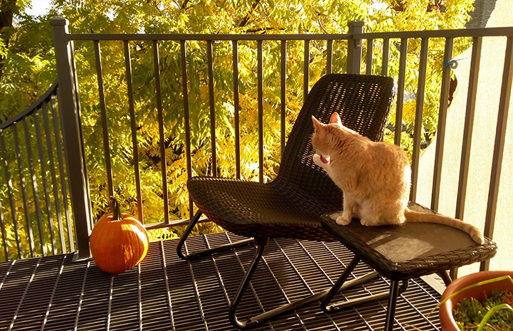 Clicquot the cat sitting on a small side table on a balcony or small porch