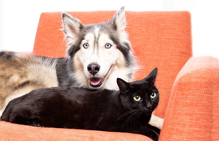 Cassiopeia the dog and Pedro the cat lying next to each other on an orange chair