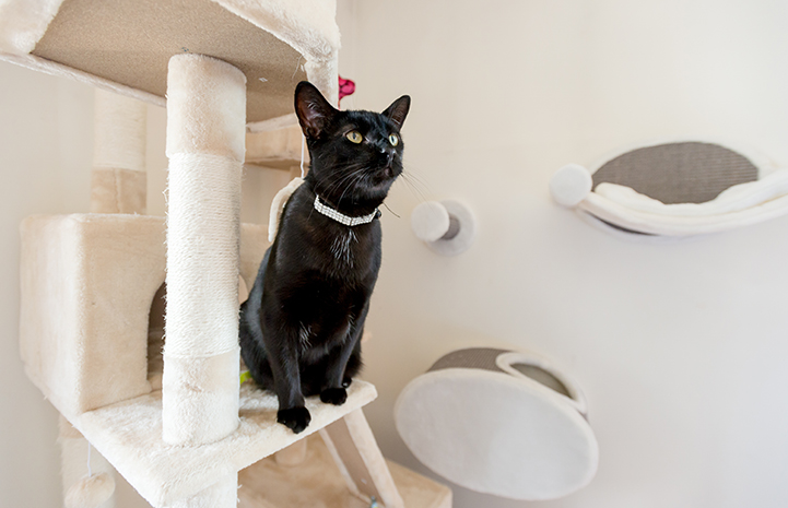 Black cat Bella on a cat tree