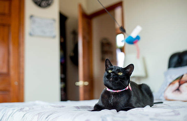Black cat Bella on the bed looking at a wand toy in the air