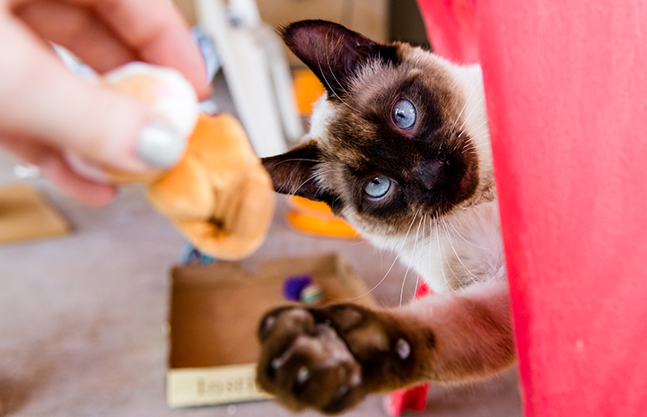 Siamese cat reaching out to play with toy being held by a person's hand