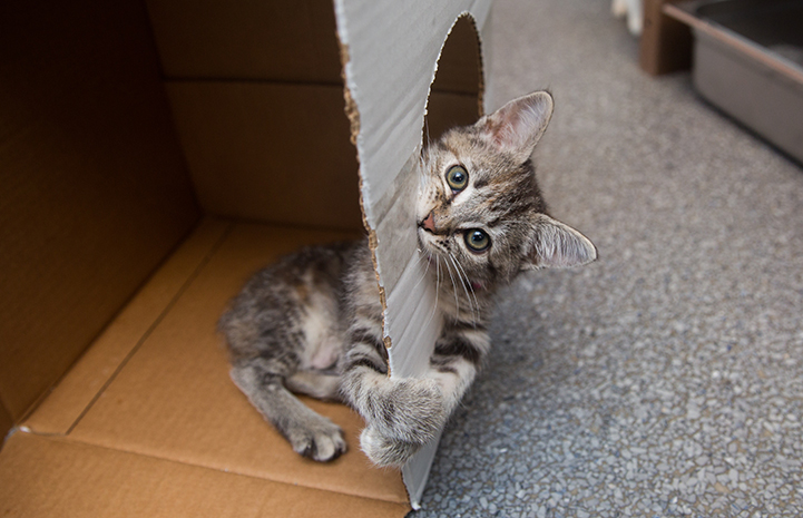 Tabby kitten playing in a cardboard box