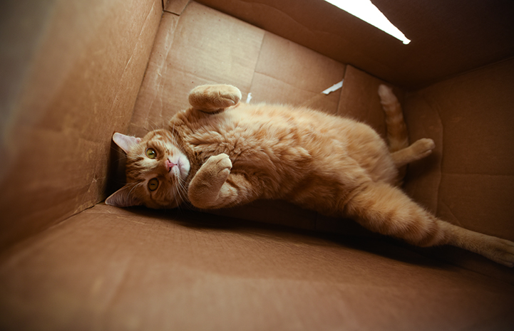 Orange tabby cat lying in a cardboard box