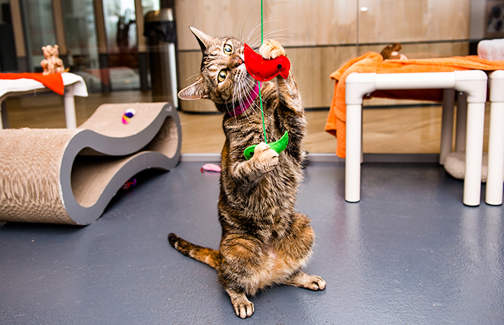 Brown tabby cat playing with a string toy
