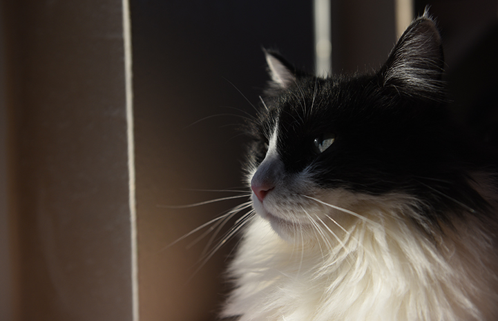 The profile of Zorro, the medium hair black and white tuxedo cat