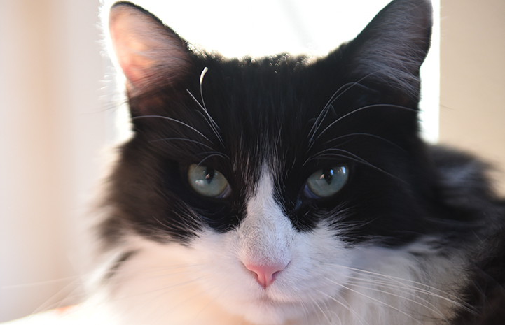 The face of Zorro, the black and white medium hair tuxedo cat