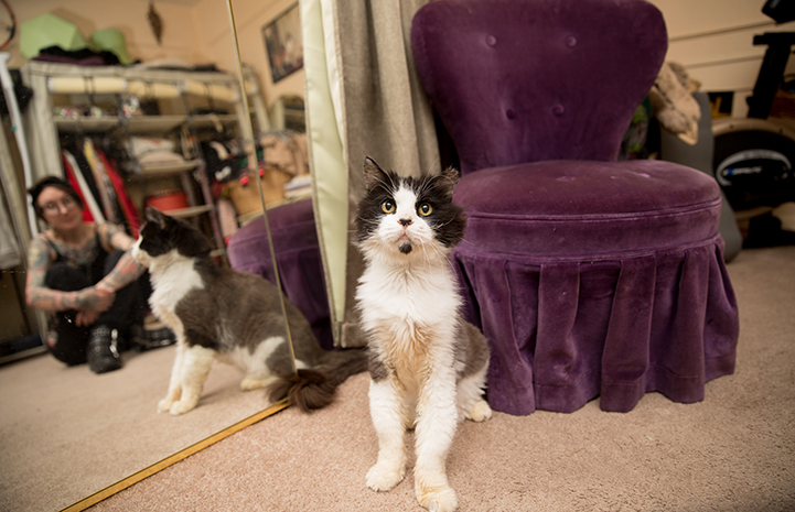Leroy Jenkins a senior black and white medium hair cat sitting in front of a purple chair with his person Michelle Lunn-Adams behind him in a mirror reflection