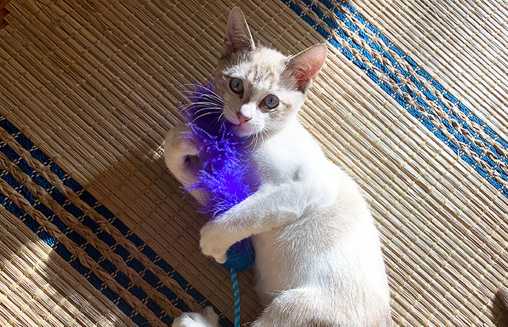 Pelota (now Dexter) the kitten playing with a blue feathery toy