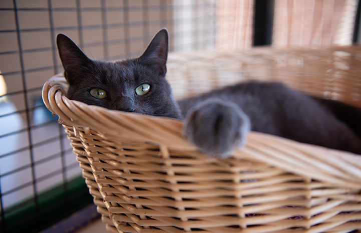 Ufro the gray cat lying in a tan basket