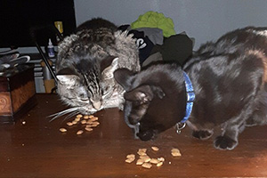 Sassy and Kobe the cats eating some kibbles on top of a table