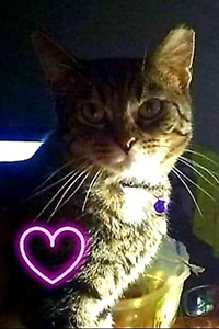 Sassy the brown tabby cat with a heart graphic