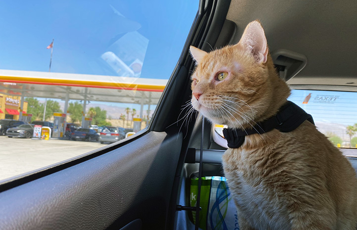 Steak the cat in a car looking out the window