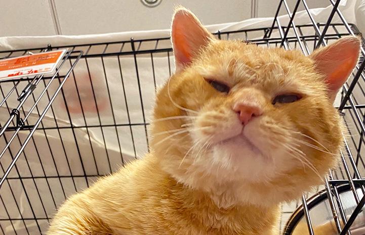 Steak the orange tabby cat peeking out of a wire kennel