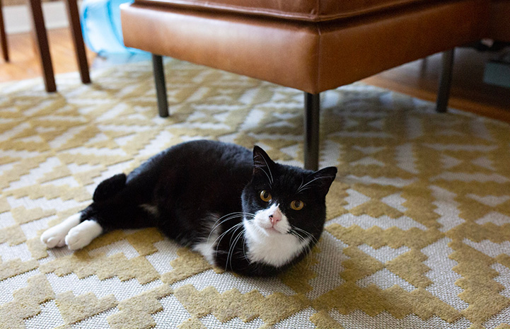 Rexie Roo the black and white cat with two legs lying on a carpet next to some furniture