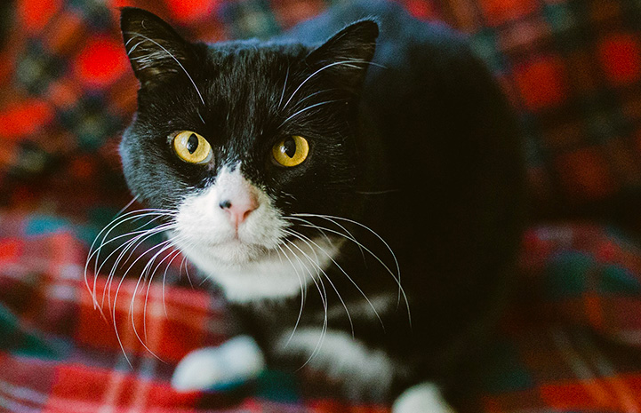 Rexie Roo the black and white cat with two legs on a red plaid blanket