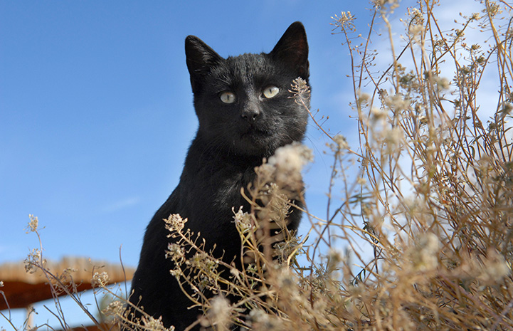 Black cat in some dried brown grasses with a blue sky behind him