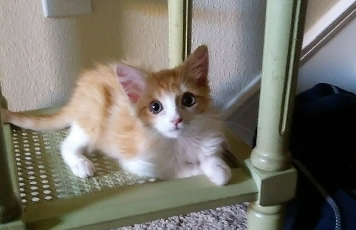 Kane as a kitten lying on a cat tree
