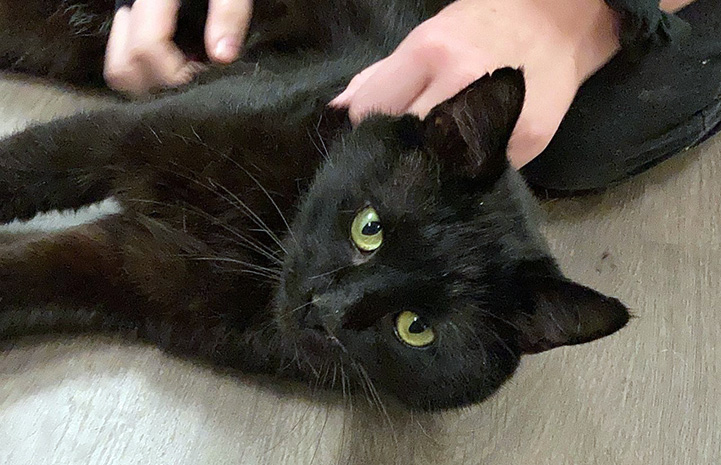 Dennis Quiad the black cat lying on his side with human hands petting him