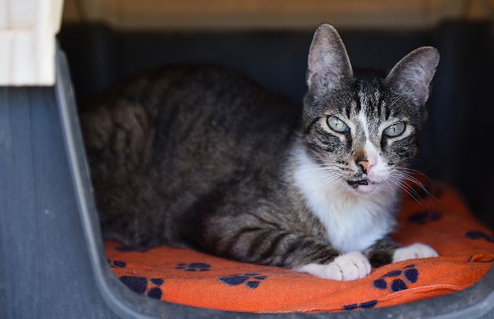 Lance, a brown tabby with white cat with cerebellar hypoplasia, lying on a mat in an enclosed cat house
