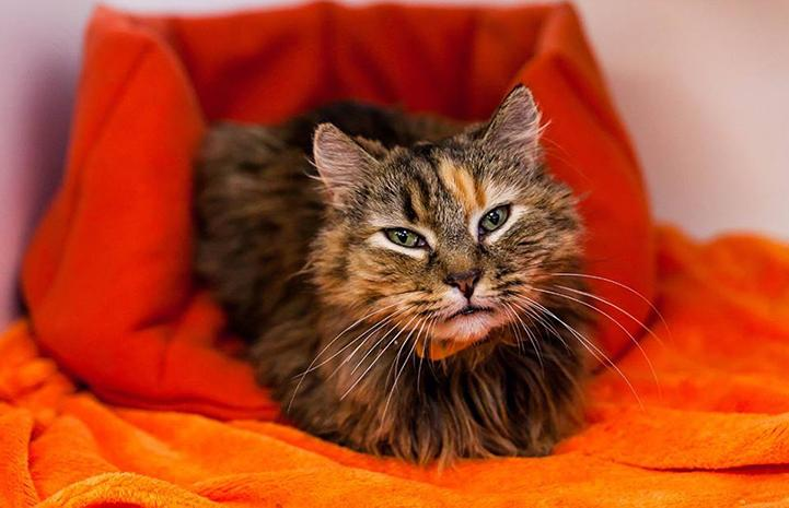 Tzipi the medium-hair tortoiseshell cat sitting like a loaf of bread in an orange bed