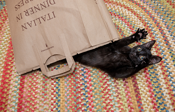 Jelly the black cat popping out of a brown paper bag