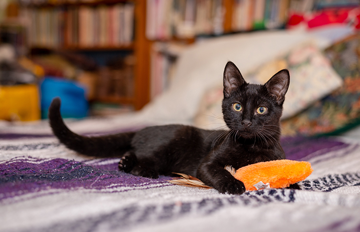 Black cat Jelly lying on a blanket with an orange toy