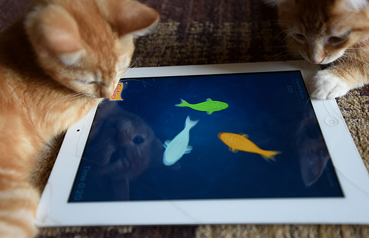 Popcorn and Cheddar, kittens with cerebellar hypoplasia, playing with an iPad
