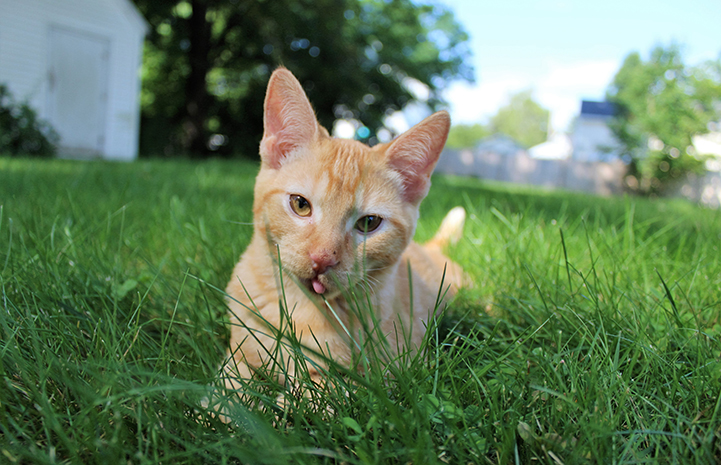 Cheddar the kitten playing in the grass