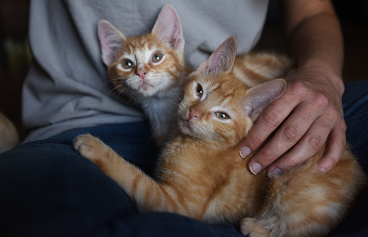 Popcorn and Cheddar, kittens with cerebellar hypoplasia