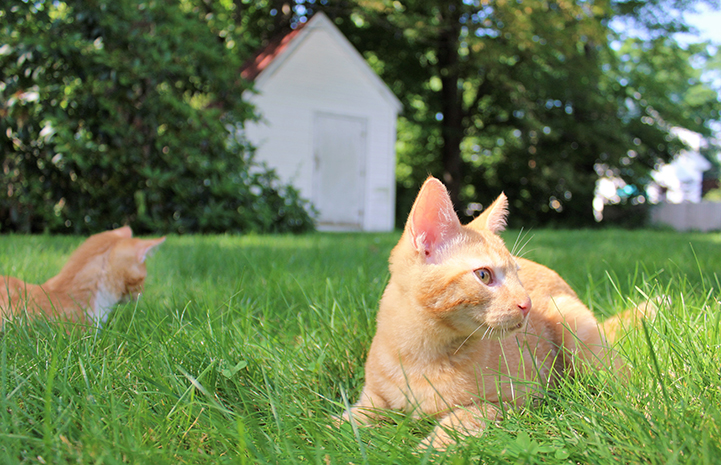 Popcorn and Cheddar, kittens with cerebellar hypoplasia, playing in the grass