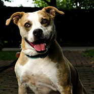 Adopt Cheyenne the dog available for adoption from Lexington Humane Society