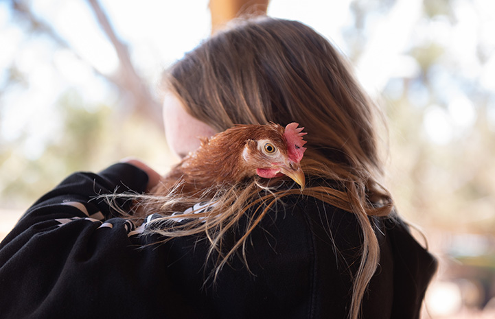 Person holding Polly Pocket the chicken over her shoulder