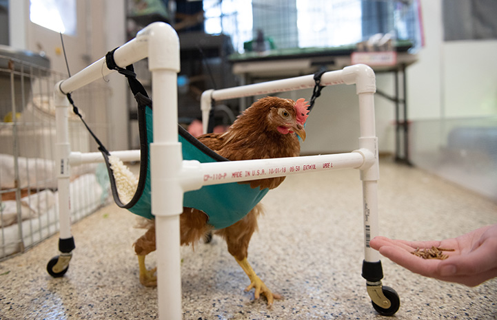 """Polly Pocket the chicken in her """"sling"""" wheelchair"""