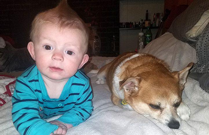 Chancho the Chihuahua next to their six-month old grandson