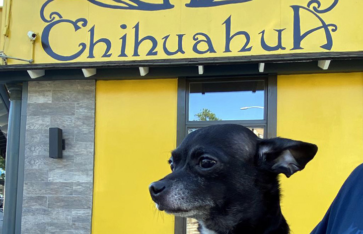 Chucky the Chihuahua being held in front of a sign that says, Chihuahua