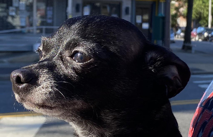 Chucky the Chihuahua profile, showing his graying muzzle and street behind him