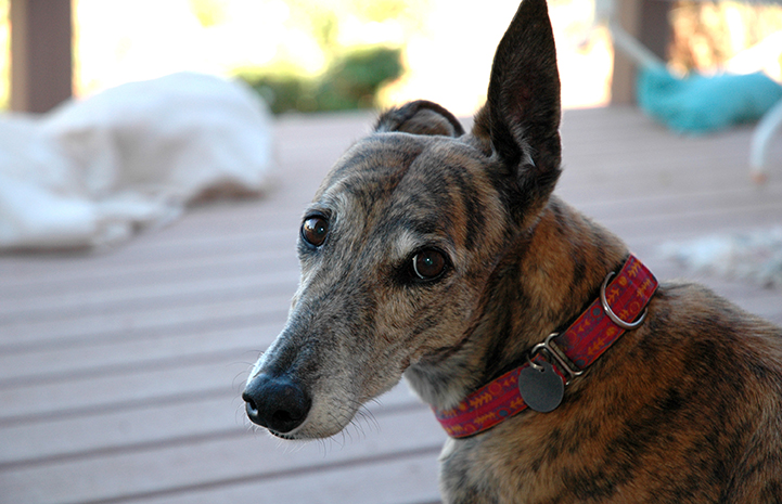 People love the gentle nature of greyhounds, like this sweet brindle greyhound