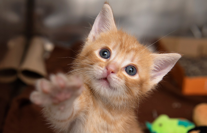 Tony the orange kitten reaching up with his little paw