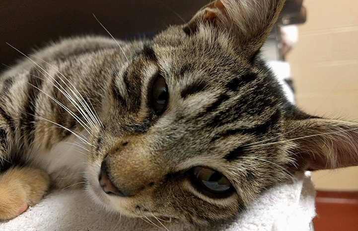 Cats like this brown tabby are given more time at the Cobb County shelter near Atlanta, Georgia