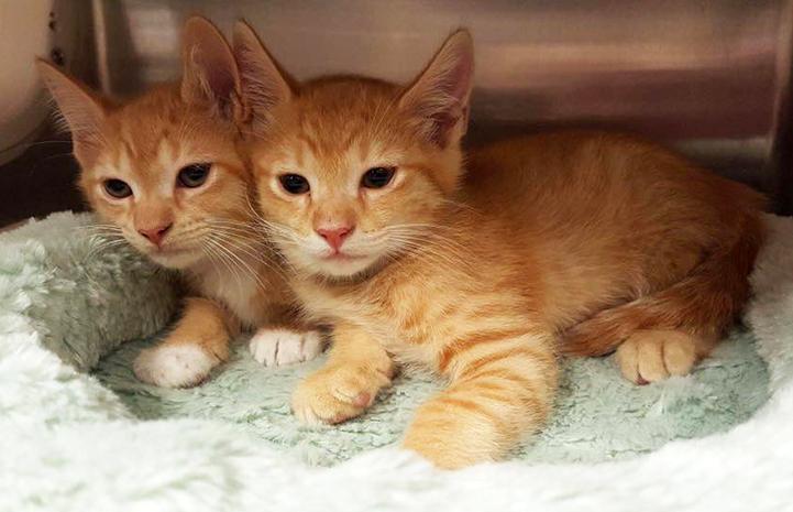 Orange tabby kittens at the Cobb County shelter near Atlanta, Georgia