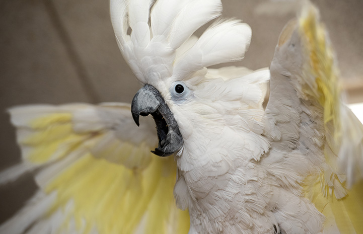 Lollipop the cockatoo with crest up and wings spread