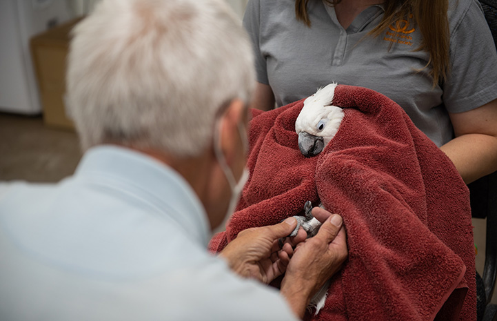 Volunteer Rick Eddy holding the feet of Lollipop the cockatoo, who is being held in a towel