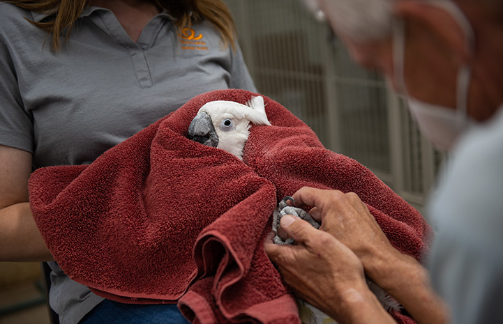 Lollipop the cockatoo being held in a towel and getting massaged by volunteer Rick Eddy